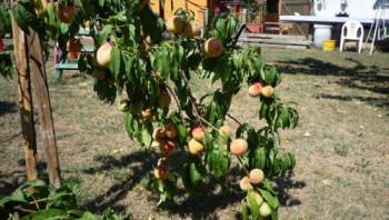 Érik a gyümölcs Debrecenben - galéria